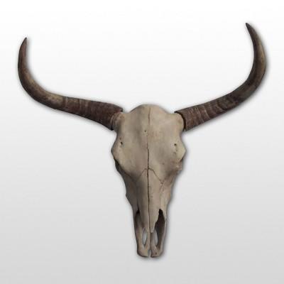 Grand Crâne de Taureau